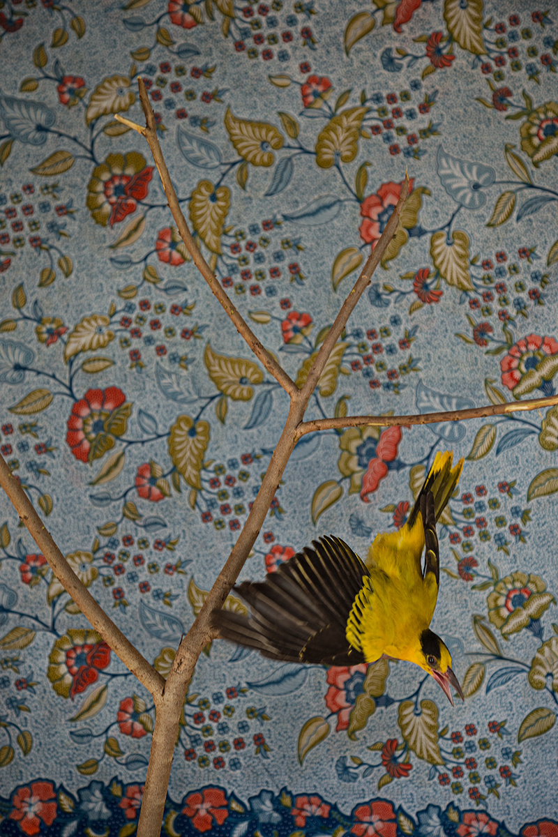 Claire Rosen, Birds of Feather, Yellow Oriole n. 3066